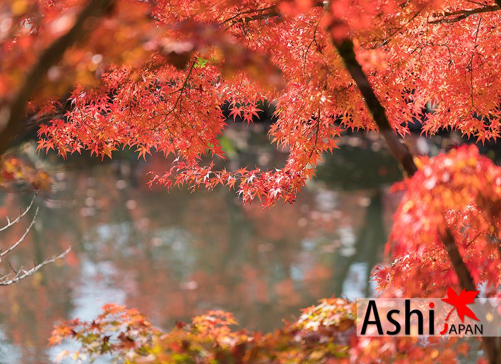 ถ้ายไปเรื่อย มองไปทางไหนก็แดง | ใบไม้เปลี่ยนสีเกียวโต