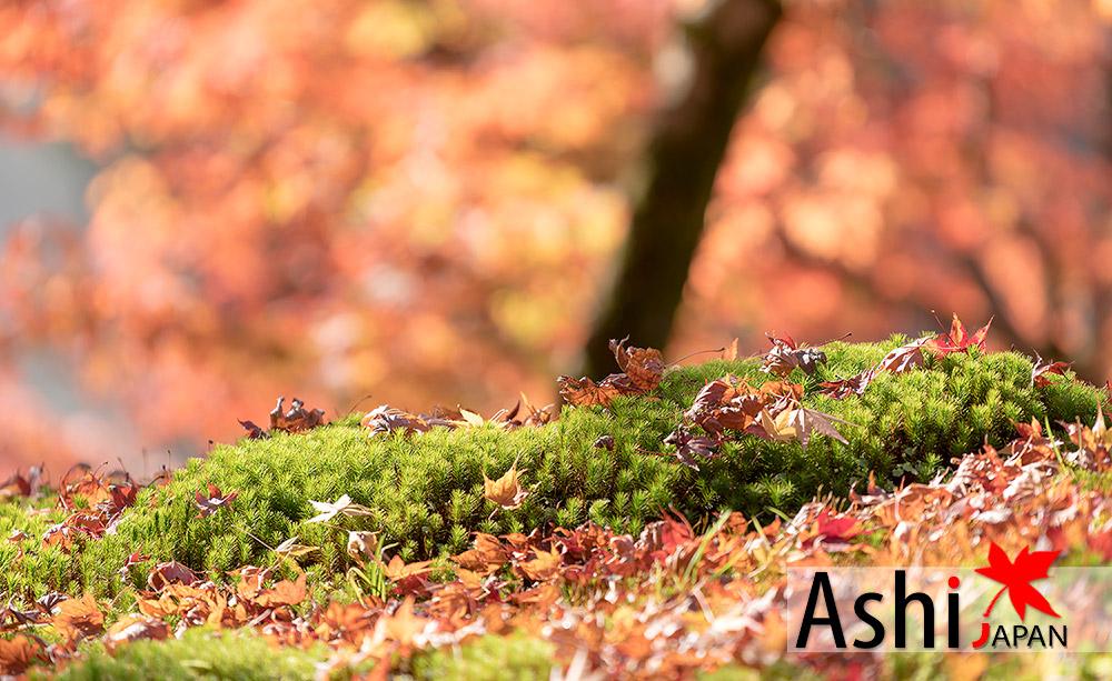 ส่องมอสกับกองใบไม้ร่วงซะหน่อย | ใบไม้เปลี่ยนสีเกียวโต