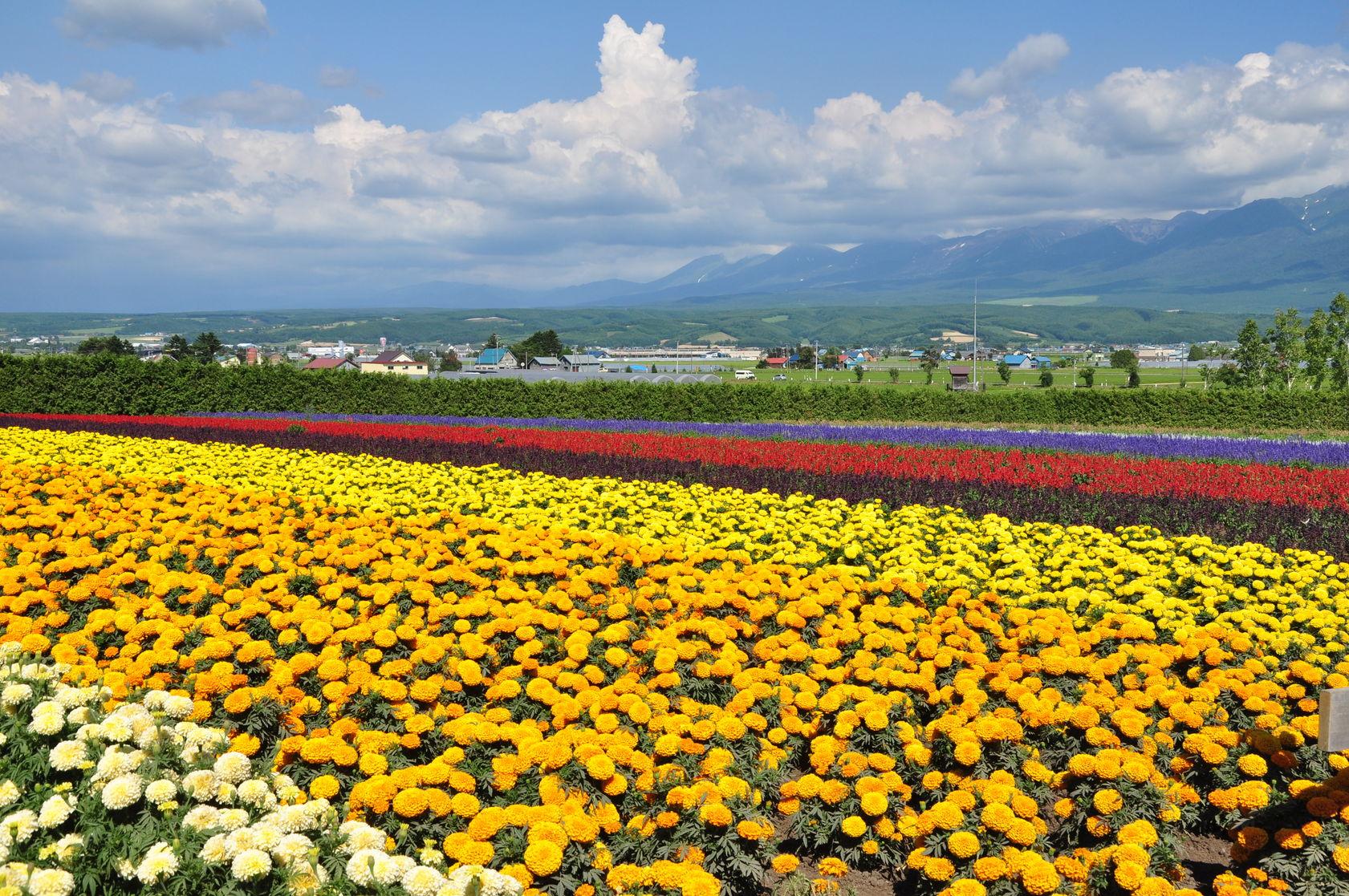 Kanno Farm - เมืองบิเอะ (Biei - 美瑛) : Hokkaido